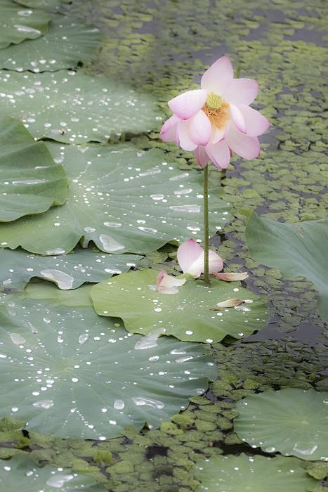 花の色は 移りにけりな ..._c0077395_11095622.jpg
