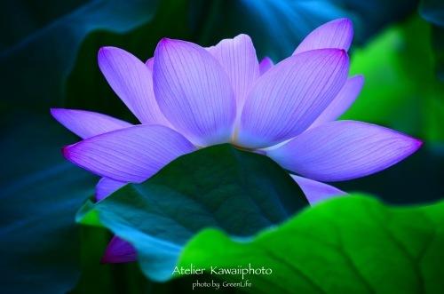 Atelier  Kawaiiphoto 蓮撮影会_f0321522_21575697.jpg