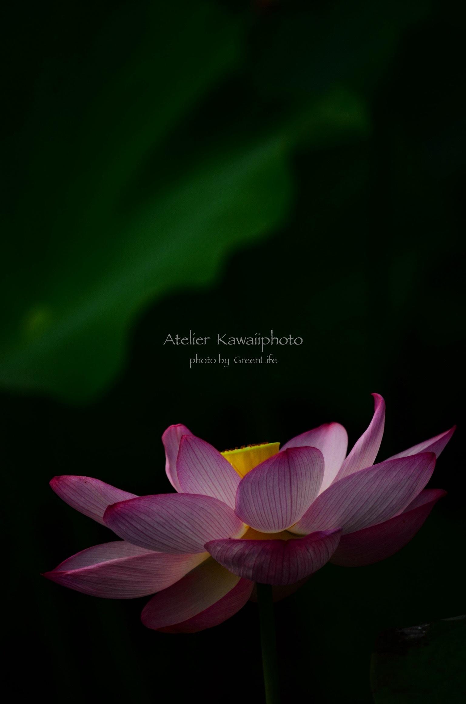 Atelier  Kawaiiphoto 蓮撮影会_f0321522_22192715.jpg