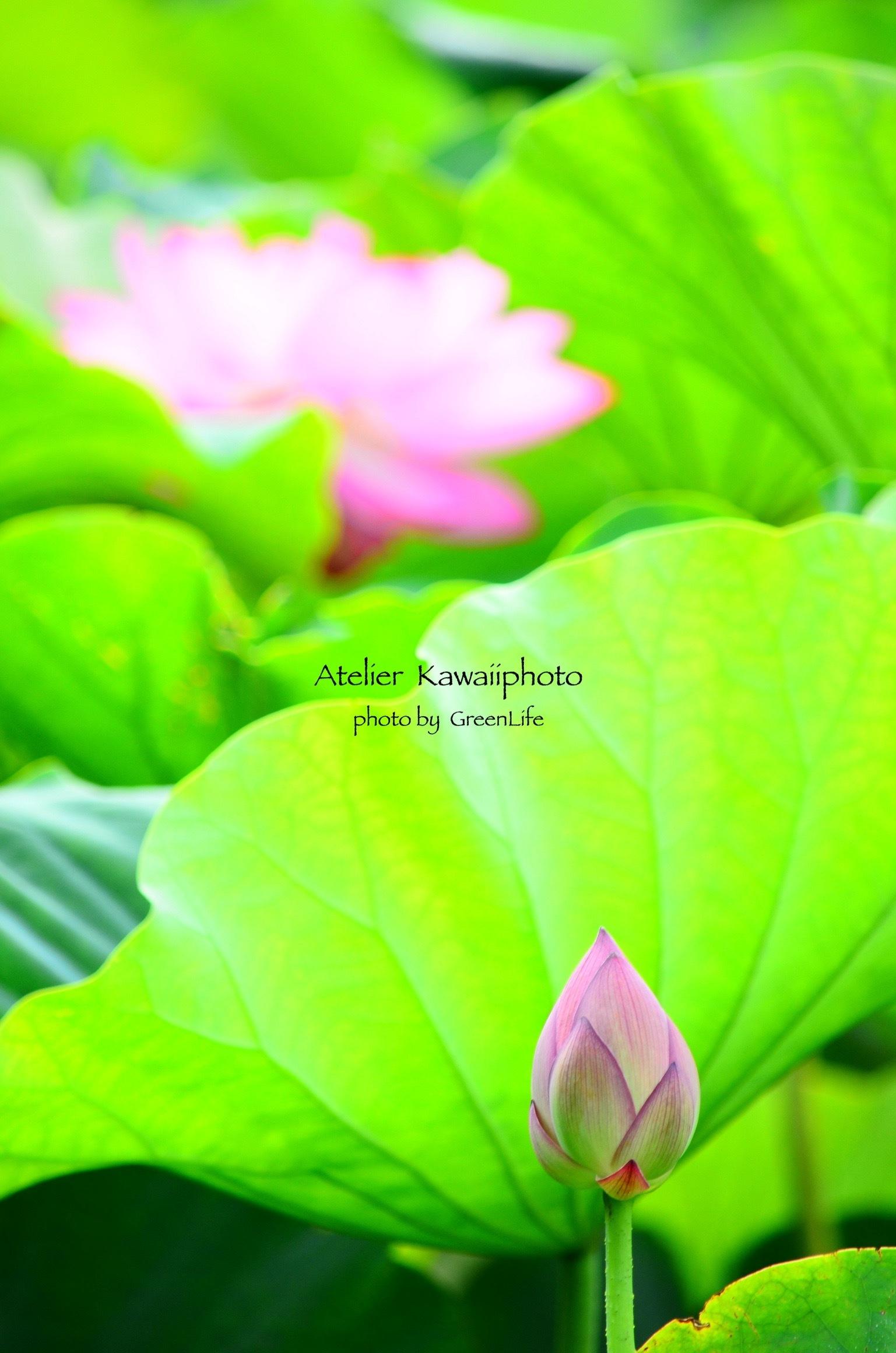 Atelier  Kawaiiphoto 蓮撮影会_f0321522_22443919.jpg