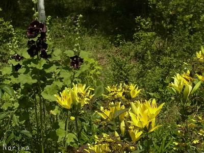 真夏の装いの庭_e0326953_1531738.jpg