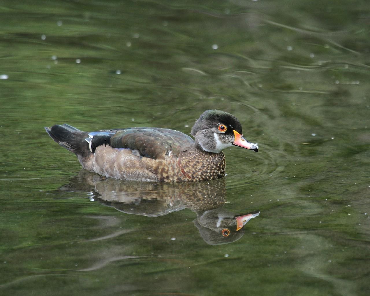ポートランドで出逢った鳥達その1_f0105570_1565269.jpg
