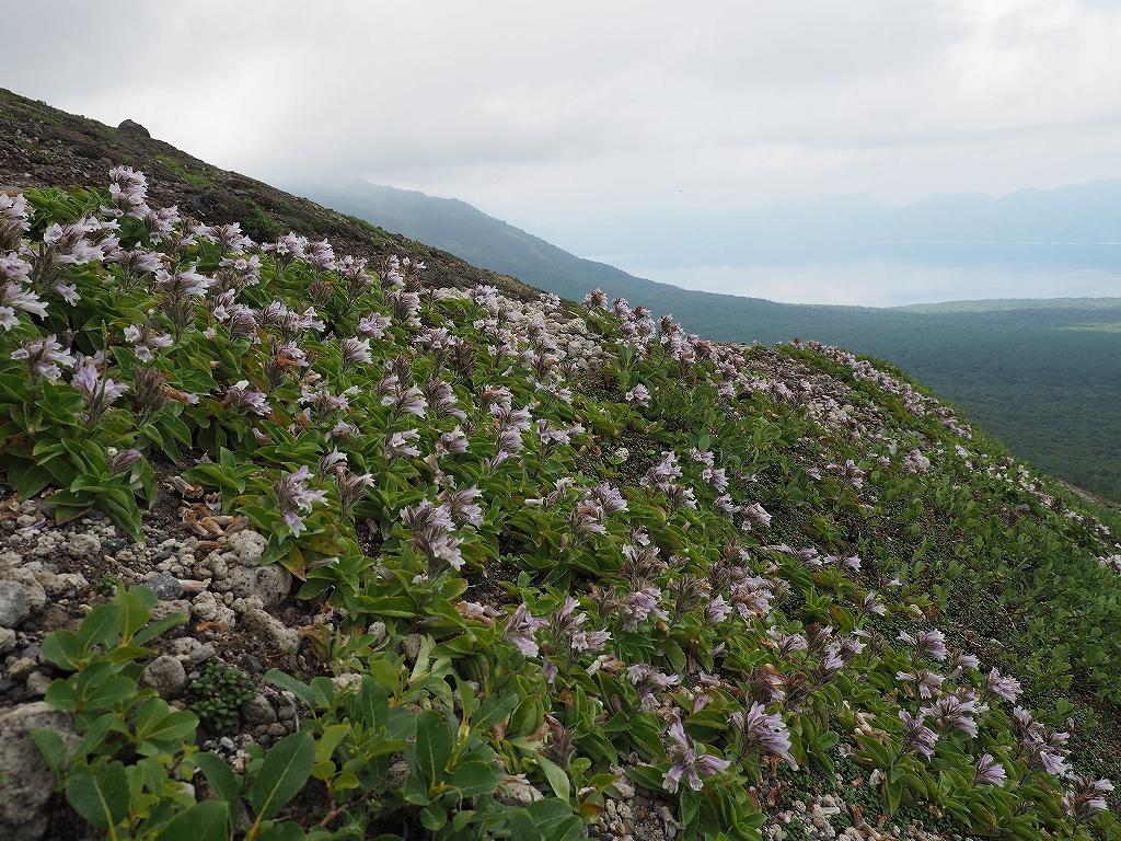 タルマエソウ見納めの樽前山、7月24日-その2-_f0138096_20475467.jpg