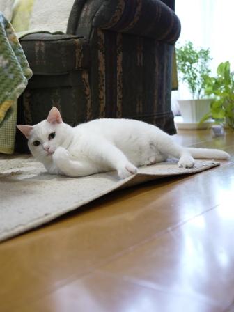 猫のお留守番 ゆきちゃんゆめくんあられくん編。_a0143140_23113931.jpg
