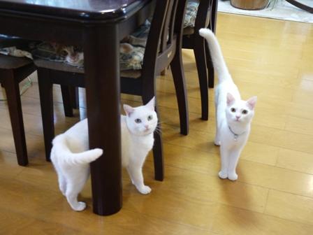 猫のお留守番 ゆきちゃんゆめくんあられくん編。_a0143140_2331219.jpg