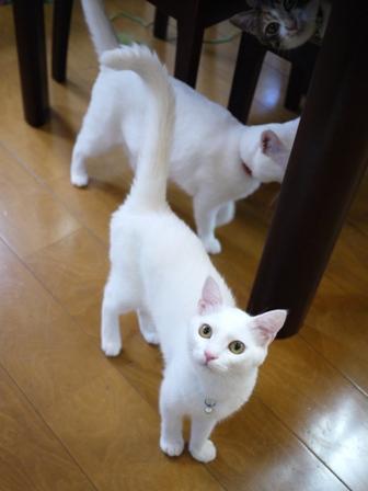 猫のお留守番 ゆきちゃんゆめくんあられくん編。_a0143140_2393985.jpg
