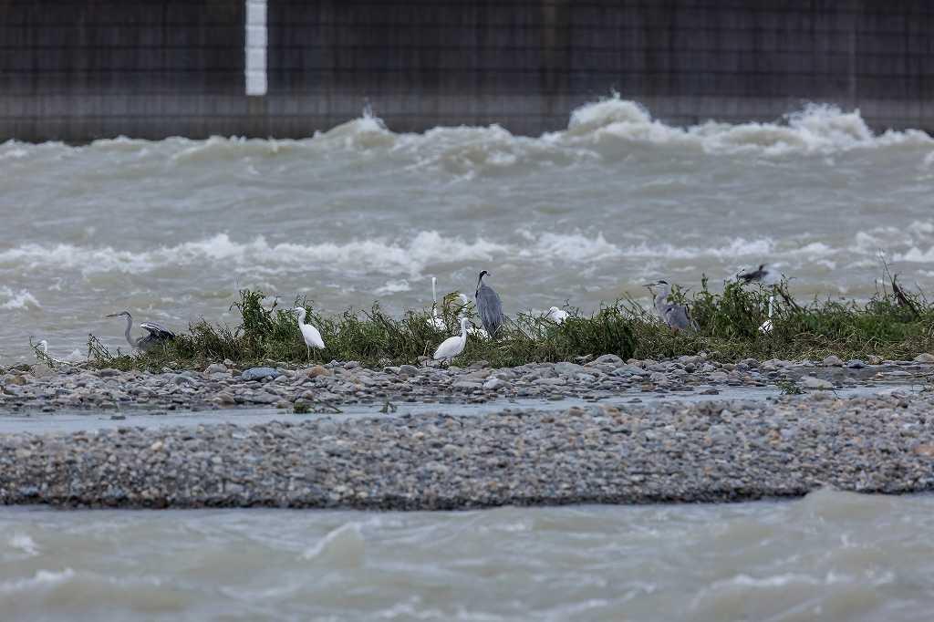 台風の後の多摩川_f0044056_08393300.jpg