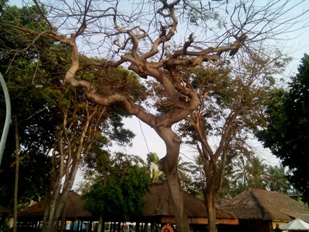 サヌールの海辺にある木(その5)_d0083068_9153078.jpg