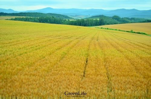 麦畑の向こう_f0321522_10165814.jpg
