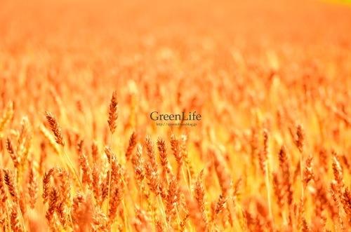 麦畑の向こう_f0321522_10174906.jpg