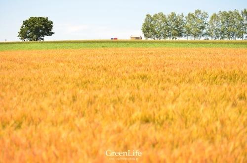 麦畑の向こう_f0321522_14554266.jpg