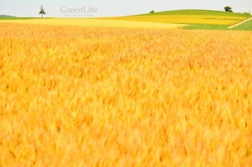 麦畑の向こう_f0321522_14555086.jpg