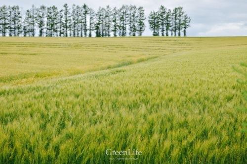 麦畑の向こう_f0321522_16085732.jpg