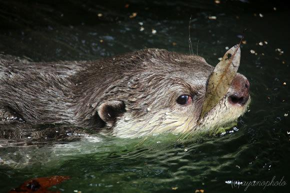 泳ぐツメナシカワウソ