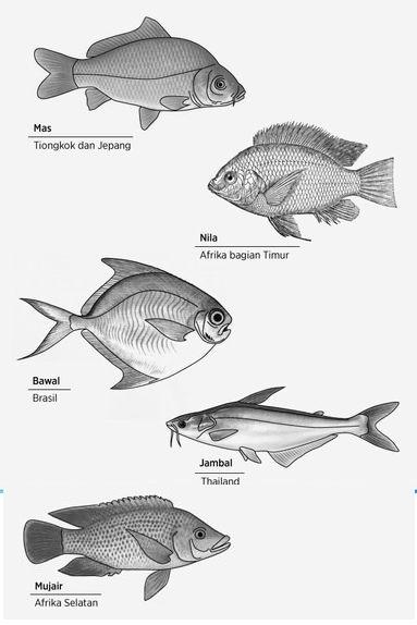 Beberapa Jenis Ikan Tawar Yang dibudidayakan Di Indonesia_a0051297_10404090.jpg