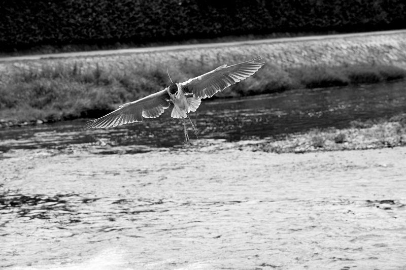 鴨川のサギ_f0032011_19571661.jpg