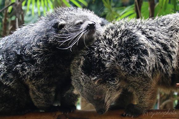 のいち動物公園の仲良しビントロング