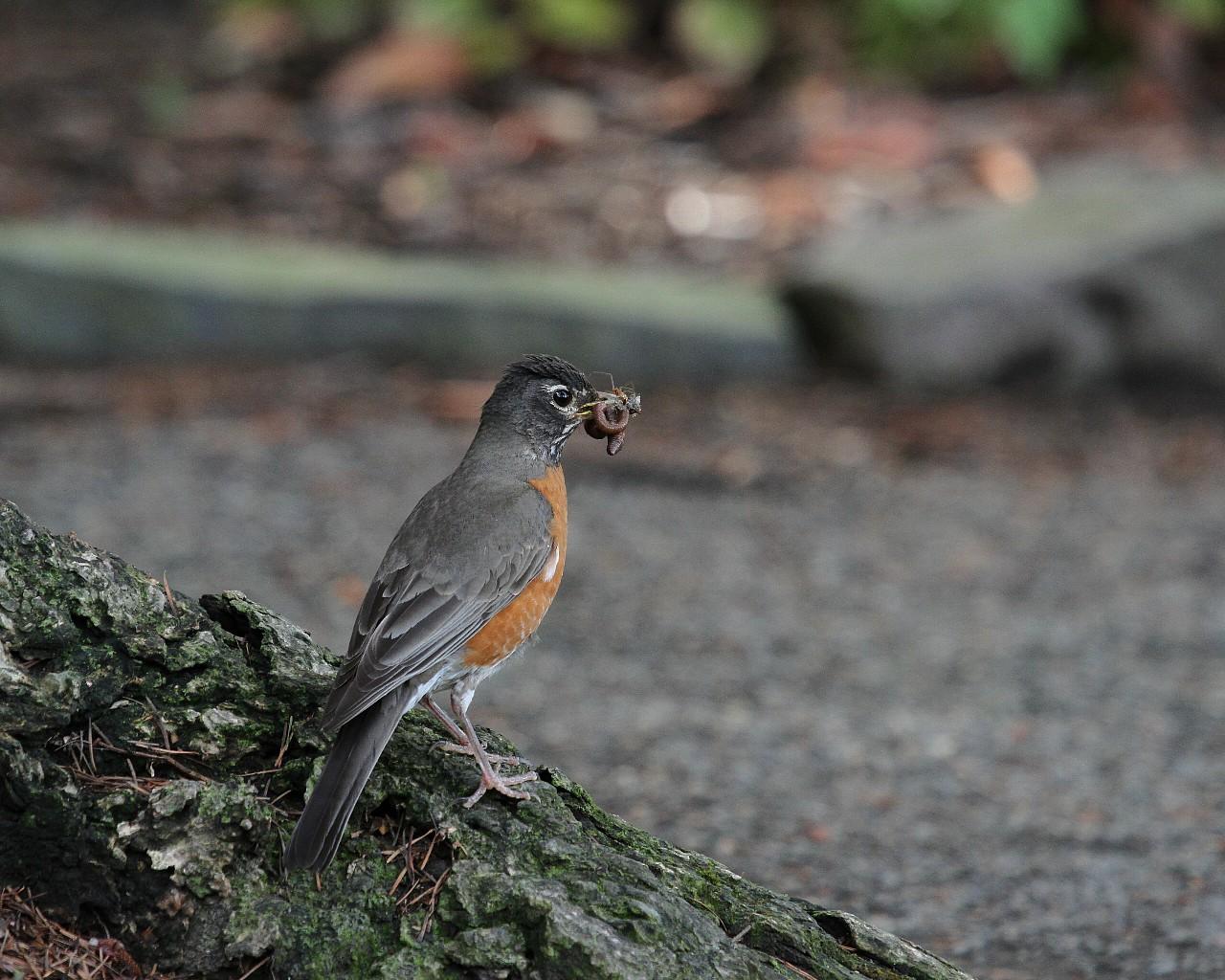 ポートランドで出逢った鳥達その4_f0105570_21151290.jpg