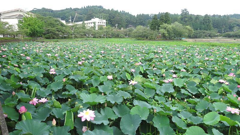八鶴湖の蓮(はす)_b0114798_17414767.jpg