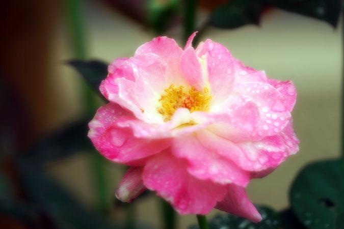 6月の我が家の庭2_a0263109_14171921.jpg