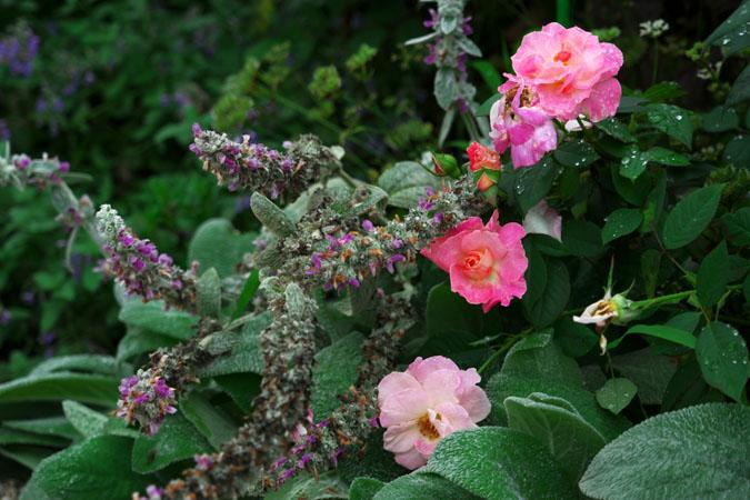 6月の我が家の庭2_a0263109_1417215.jpg