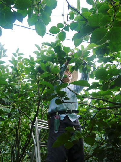 太秋柿 古川果樹園 今年も順調に成長中!摘果作業と枝吊り作業の惜しまぬ手間ひまをかけ育ています!_a0254656_18512315.jpg