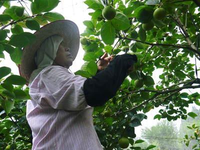 太秋柿 古川果樹園 今年も順調に成長中!摘果作業と枝吊り作業の惜しまぬ手間ひまをかけ育ています!_a0254656_18583569.jpg