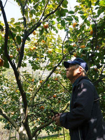 太秋柿 古川果樹園 今年も順調に成長中!摘果作業と枝吊り作業の惜しまぬ手間ひまをかけ育ています!_a0254656_19194268.jpg