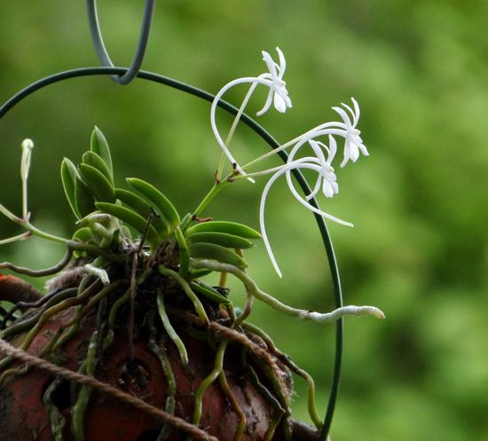 フウランが咲いて、コケモモの実が可愛くて~♪_a0136293_19224844.jpg