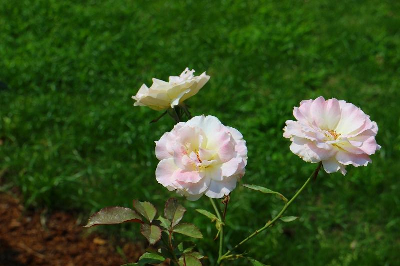 夏の花真っ盛りの【京都植物園】20150625_e0237645_9115992.jpg