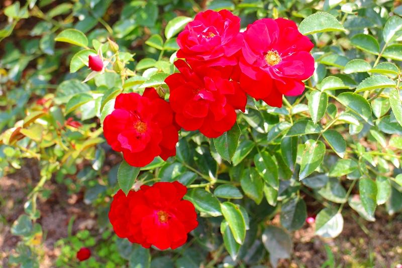 夏の花真っ盛りの【京都植物園】20150625_e0237645_9122043.jpg