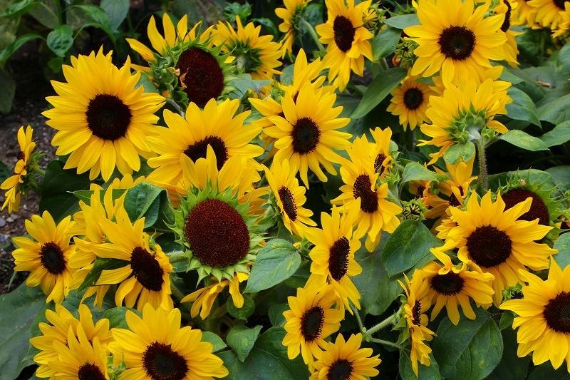 夏の花真っ盛りの【京都植物園】20150625_e0237645_921189.jpg