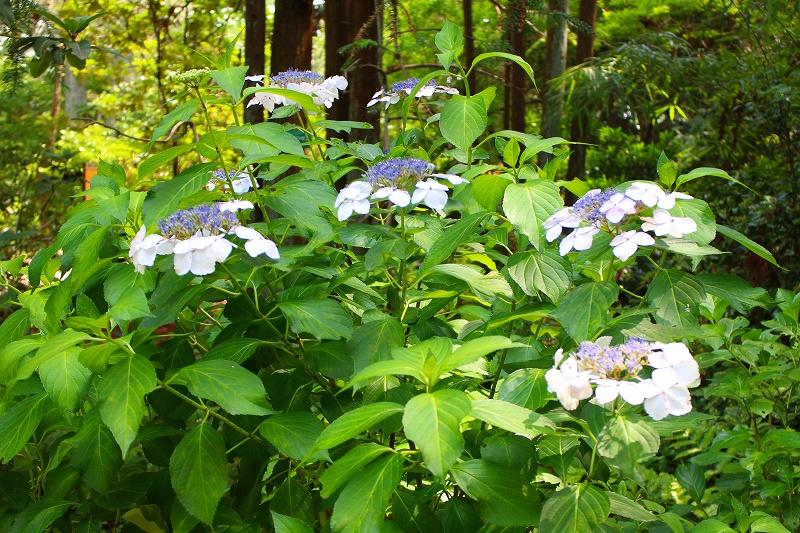 夏の花真っ盛りの【京都植物園】20150625_e0237645_9243310.jpg