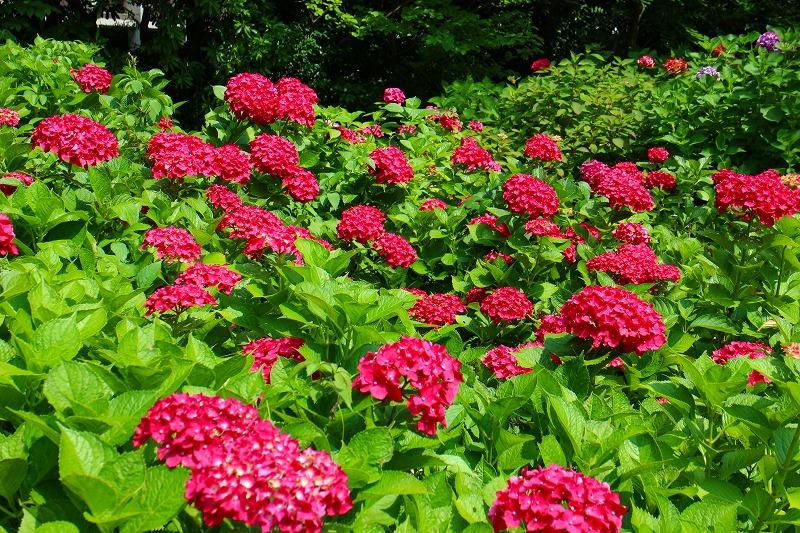 夏の花真っ盛りの【京都植物園】20150625_e0237645_9253130.jpg