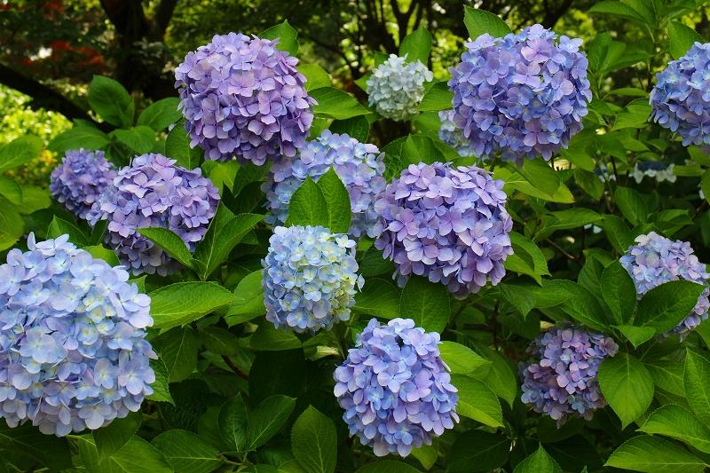 夏の花真っ盛りの【京都植物園】20150625_e0237645_926766.jpg