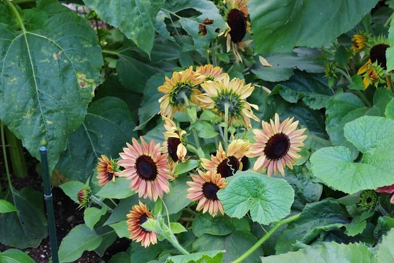 夏の花真っ盛りの【京都植物園】20150625_e0237645_931328.jpg