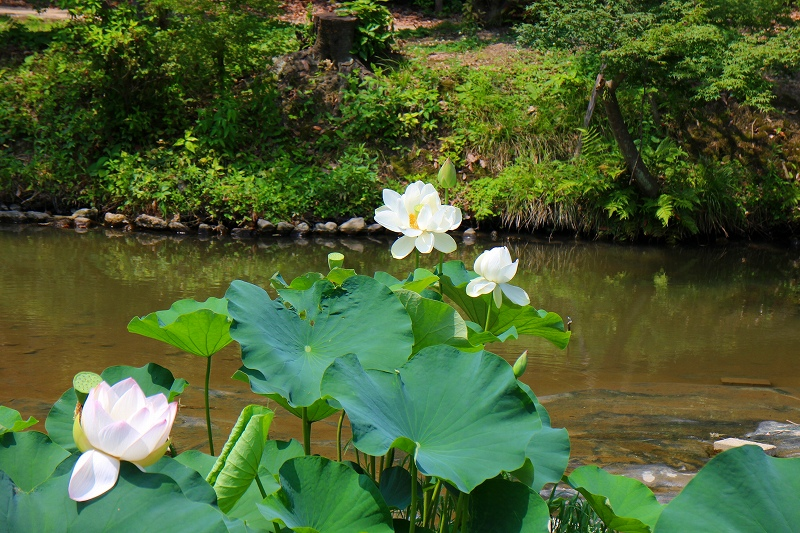 夏の花真っ盛りの【京都植物園】20150625_e0237645_9352370.jpg