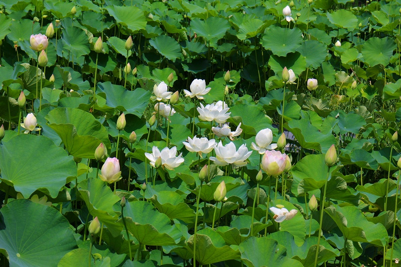 夏の花真っ盛りの【京都植物園】20150625_e0237645_9364445.jpg