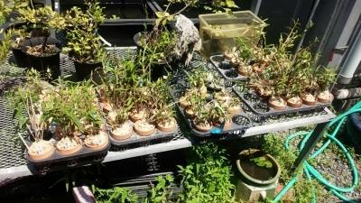 交配種の秋紅錦を植え替えました_f0356792_13021694.jpg