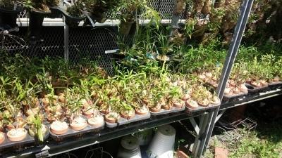 交配種の秋紅錦を植え替えました_f0356792_13024213.jpg