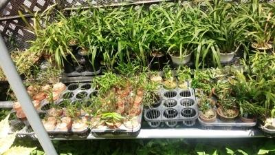 交配種の秋紅錦を植え替えました_f0356792_13030913.jpg