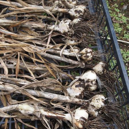 ニンニク収穫_a0292194_16591913.jpg