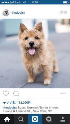 成犬ノーリッチテリア_e0055098_1723248.jpg