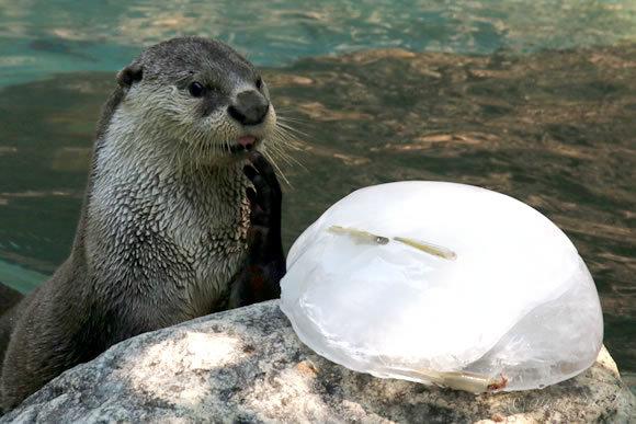 ツメナシカワウソへ氷のプレゼント