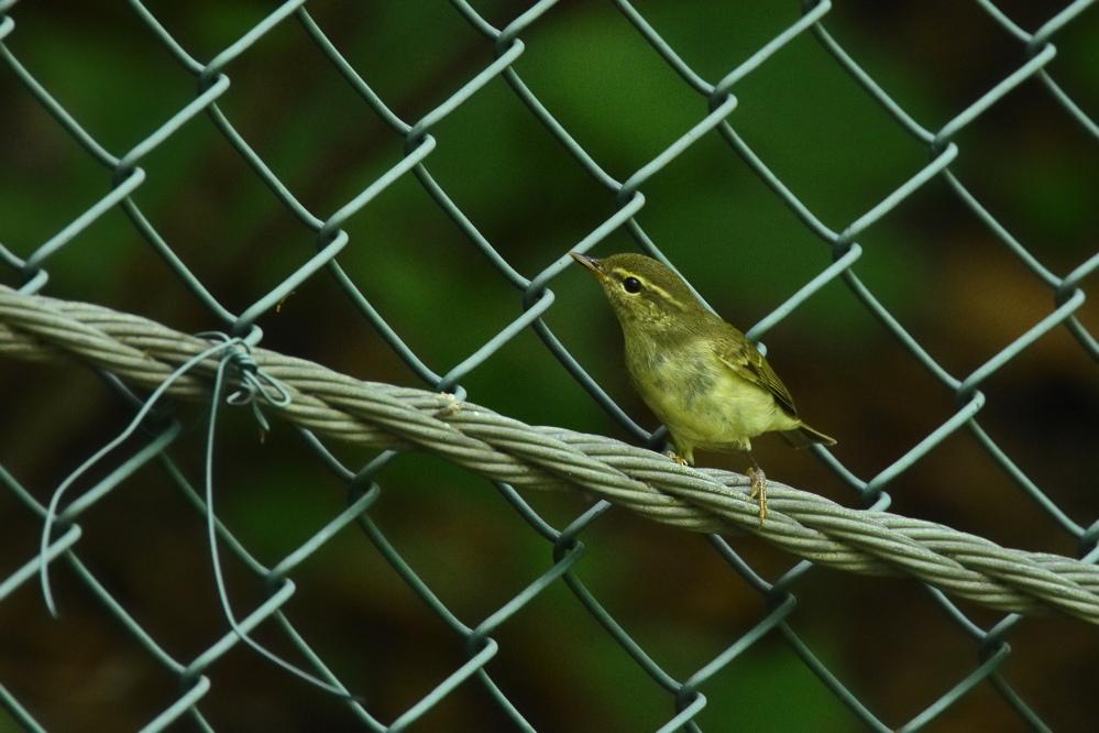 エゾムシクイ と ?な鳥さん_f0053272_1417779.jpg