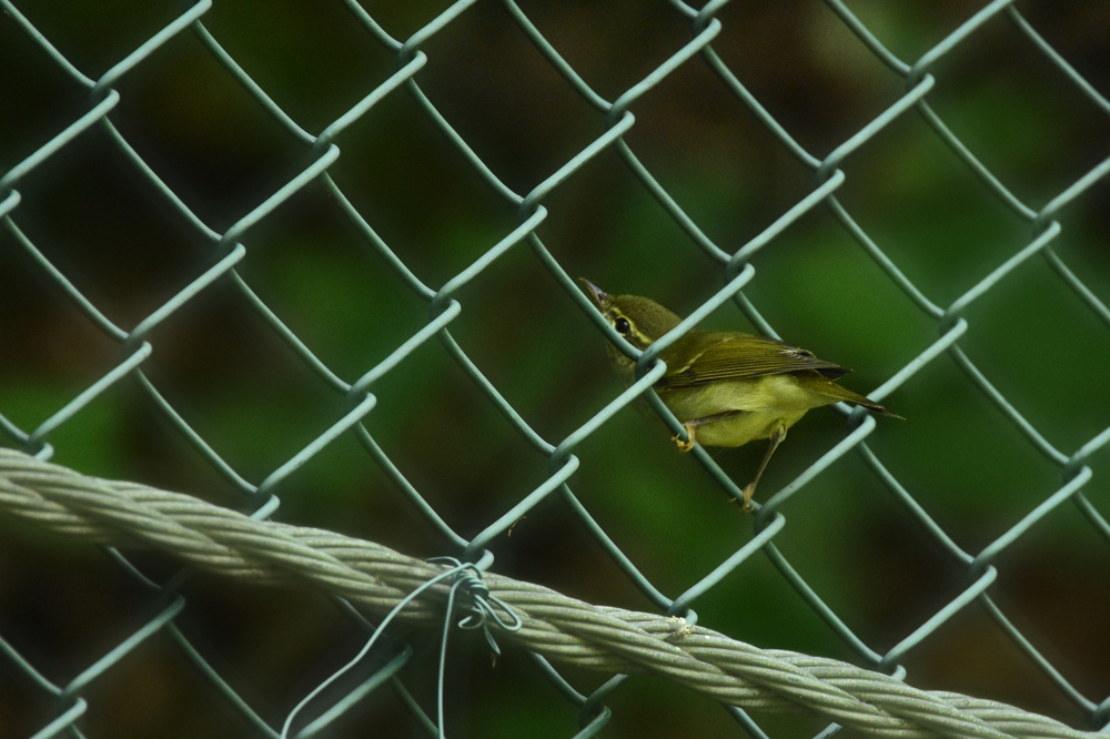 エゾムシクイ と ?な鳥さん_f0053272_14191183.jpg