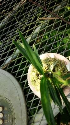 アマミフウラン 曼珠沙華が咲きました。_f0356792_10523258.jpg