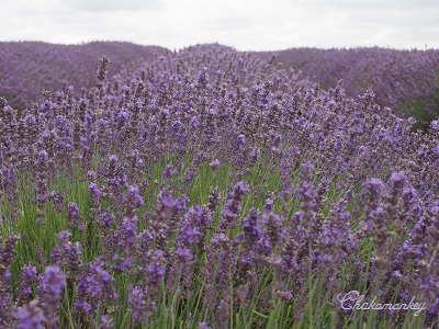 やっと行かれたMayfield Lavender Farm_f0238789_18544978.jpg