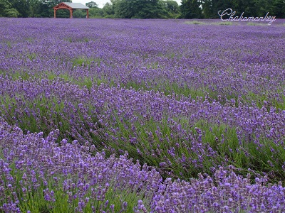 やっと行かれたMayfield Lavender Farm_f0238789_18552744.jpg