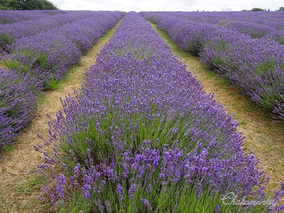 やっと行かれたMayfield Lavender Farm_f0238789_18554418.jpg